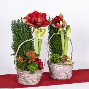 Joulutunnelmaan tyylikäs amaryllisistutus Pirilän Kukkatalon myymälöistä nyt myös Kaarinan Krossissa