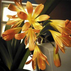Vanhanajan kukkiva huonekasvi punasarja eli kliivia