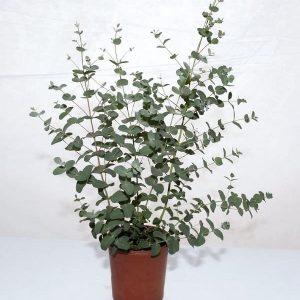 Trendikäs leikkokukkana tunnettu eukalyptus nyt myös ruukkukasvina