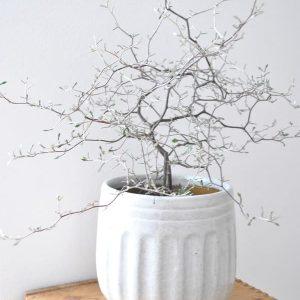 Trendikäs kummituspuu eli corokia on sisustajan suosikki