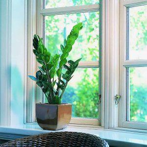 Palmuvehka on yksi helppohoitoisimmista viherkasveista