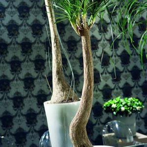 Pullojukka on hidaskasvuinen, mutta erittäin helppohoitoinen viherkasvi
