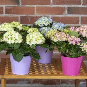 ystävänpäivä hortensiat sinkkiruukussa