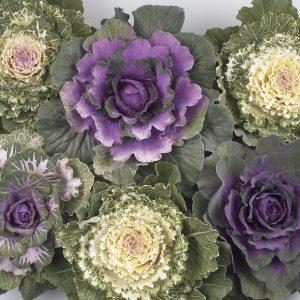 Värikkäät ja rapealehtiset koristekaalit tuovat väriä syysistutuksiin, kotimaista omasta tuotannostamme