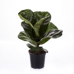 Lyyraviikuna on upealehtinen viherkasvi joka tarvitsee tilaa ja kahtaa auringonpaistetta