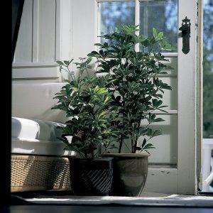 Siroliuska-aralia soveltuu monenlaisiin oloihin ja puhdistaa huoneilmaa