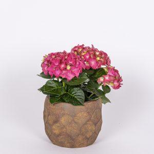 jalohortensia Hydrangea macrophylla syysmarkkinoilta tarjoushintaan tarjolla useita värejä