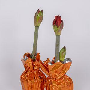 Amaryllis syksyisessä värityksessään tulee omasta tuotannostamme 2-vanaisena