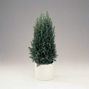 Jouluksi pöytähavu kuten esimerkiksi lawsoninsypressi ellwoodii