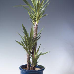 Kiiltojukka Yucca elephantipes on helppohoitoinen viherkasvi