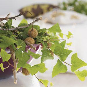 Muratti on monipuolinen kasvi, ympärivuotinen viherkasvi mutta sopii myös jouluistutuksiin