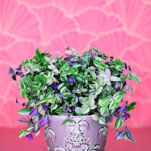 Juoru on nopeakasvuinen rentovartinen viherkasvi amppeliin