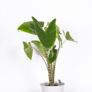 Alokaasia Zebrina on tyylikäs viherkasvi