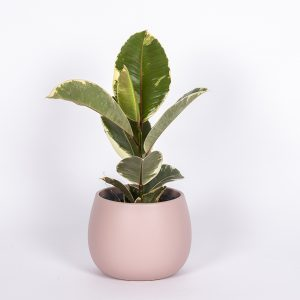 Huonekumipuu Tineke on tyylikäs kirjavalehtinen viherkasvi