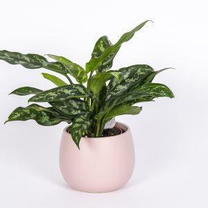 Kirjolaikkuvehka Aglaonema on näyttävälehtinen viherkasvi