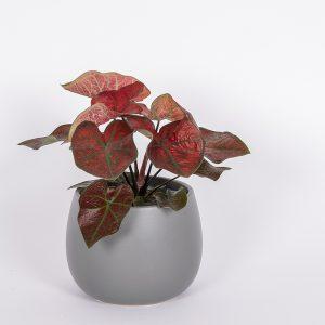 Kirjolehti Bubblella on upeat punaiset lehdet