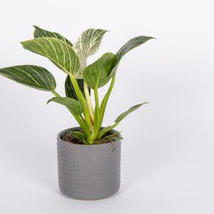 Köynnösvehka Philodendron White Measure on näyttävä viherkasviuutuus
