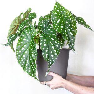 Pilkkubegonia on vanhan ajan kaunis hopeapilkkuinen viherkasvi