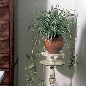 Huoneilmaa puhdistava, vanhan ajan viherkasvi rönsylilja sopii ruukkuun ja amppeliin