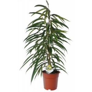 Pitkälehtiviikuna on nopeakasvuinen, suuri puu, joka kosteuttaa huoneilmaa